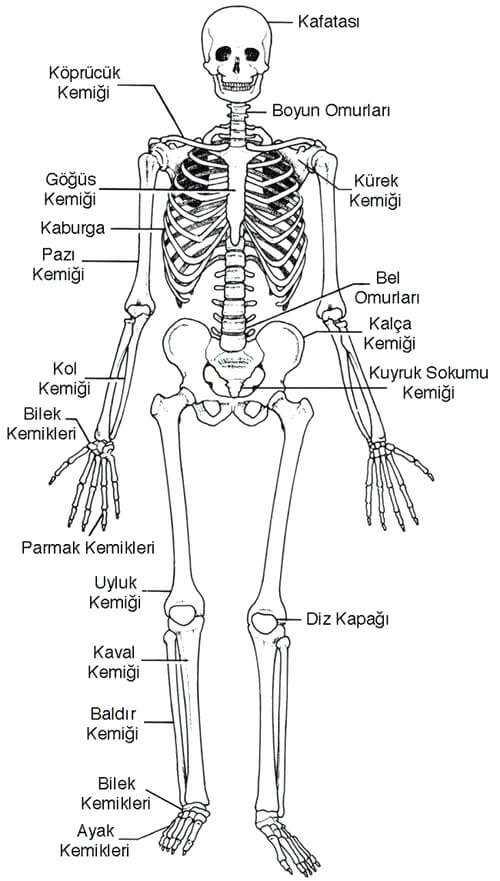 iskelet sistemi ve bölümleri