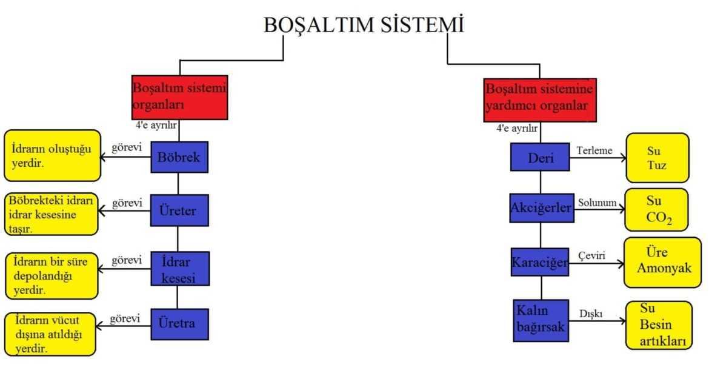 boşaltım sistemi kavram haritası